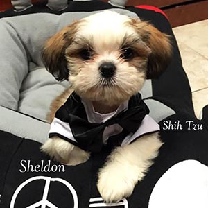 sheldon shih tzu small